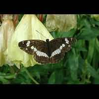 Photograph of Limenitis camilla