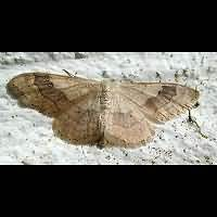 Photograph of Idaea aversata
