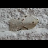 picture Acleris logiana