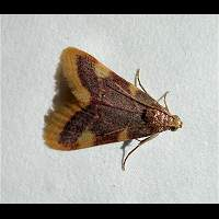 Photograph of a Pyralid Moth
