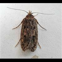 picture Brown House Moth