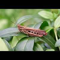 photograph Common Field Grasshopper