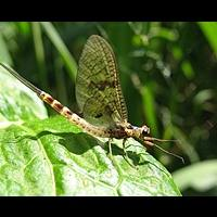 photograph Green Drake Mayfly