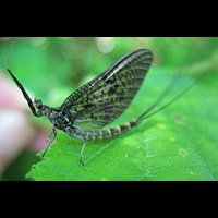 photograph Drake Mackerel Mayfly
