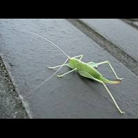 photograph Southern Oak Bush-cricket