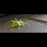 photograph Oak Bush-cricket