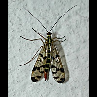 picture Common Scorpionfly