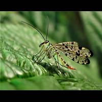 photograph Scorpion Fly