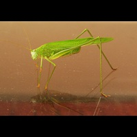photograph Sickle-bearing Bush-cricket