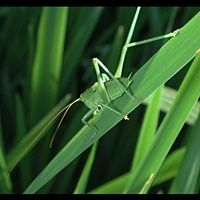 picture Great Green Bush-Cricket