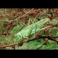 photograph Great Green Bush-Cricket