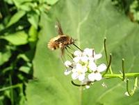 photograph Large Bee-fly