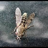 photograph Common Horse Fly