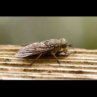 photograph Band-eyed Brown Horsefly