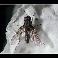 photograph Cabbage Root Fly