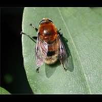 photograph Greater Bulbfly