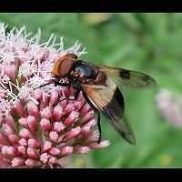 photograph Volucella pelluscens
