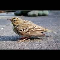 photograph Anthus trivialis