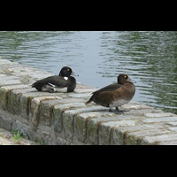 photograph Tufted Duck