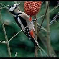 photograph Great Spotted Woodpecker