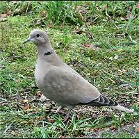 photograph Collared Dove