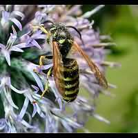 picture Saxon Wasp