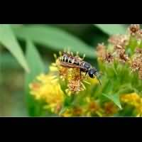 picture Sand Tailed Digger Wasp