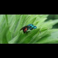 picture Chrysis ignata