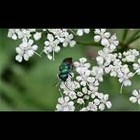 picture Common Cuckoo Wasp