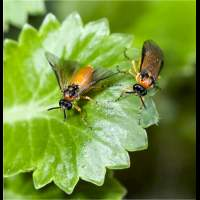 picture Turnip Sawfly